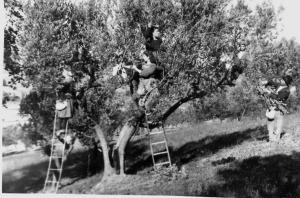 raccolta-olive-2